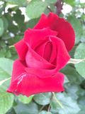 Red rose flower with white parts. Red rose flower close up and in blossom after rain with drops . Bush stock photo