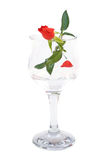 Red rose flower in wineglass isolated Stock Images