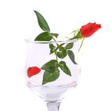Red rose flower in wineglass  Stock Photography