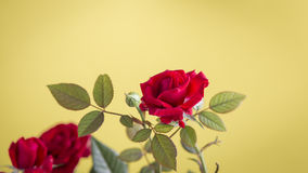 Red rose flower on a yellow background Stock Images