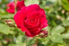 Red Rose. Flowering bush of red roses Royalty Free Stock Image