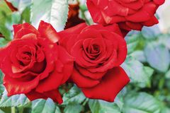 Red rose flowers. Background of red roses close-up.  stock photos