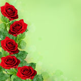 Red rose flowers. On green background Stock Photos