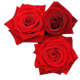Red Rose flowers Isolated Stock Photography