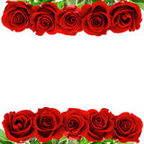 Red rose flowers isolated on white background Royalty Free Stock Photo