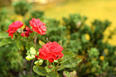 Red rose flowers in the nature Royalty Free Stock Images