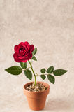 Red rose flowers on a paper  background Stock Image