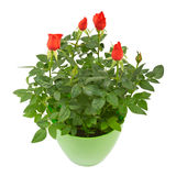 Red rose flowers in a plastic pot Royalty Free Stock Images