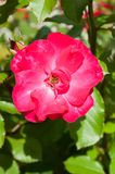 Red rose flowers in the summer sunny garden Royalty Free Stock Photography