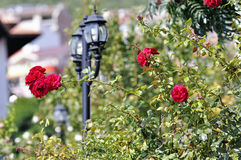 Red Rose flowers in summer time Royalty Free Stock Photo