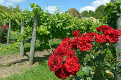 Red rose flowers in vineyard Royalty Free Stock Photography
