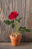 Red rose flowers on a wooden background Stock Photo