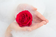 Red rose and foam in female hands Stock Photography