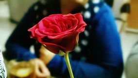 Red rose. Focus on Red rose Stock Images