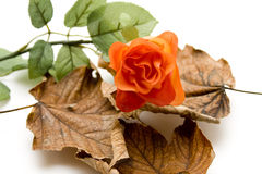 Red rose on foliage Royalty Free Stock Photos