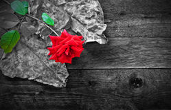 Red rose and foliage on wooden table Stock Image