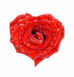 Red rose in the form of heart. In drops over white Royalty Free Stock Photo