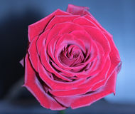 Red rose fower Stock Images