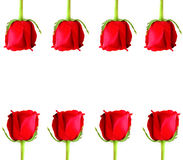 Red Rose frame. On white background Royalty Free Stock Photography