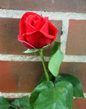 Red rose in front of brick wall Stock Photos