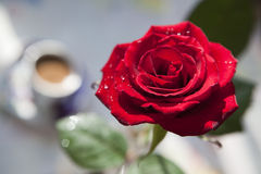 Red rose  Front View. Red rose with water drops in beams аnd cup of coffee Royalty Free Stock Photos
