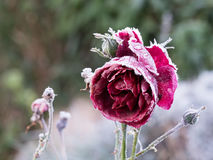 Red rose with frost Stock Photography