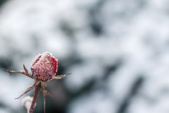 Red rose with frost. Frozen rose under the snow Stock Photos