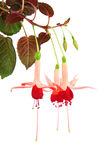 Red and rose fuchsia Royalty Free Stock Photography