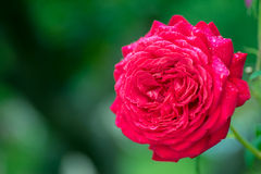 Red Rose in full bloom with dew drops in the garden stock photography