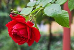 Red rose in the garden. On defocused background Royalty Free Stock Image