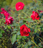 Red rose garden Royalty Free Stock Photos
