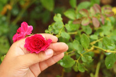 A red rose in the garden. A red rose in the garden Stock Photography