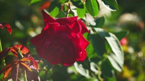 Red rose in the garden backlit by sun stock video
