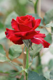 Red rose in garden. Royalty Free Stock Photography