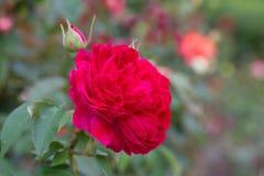 Red rose in garden Stock Image