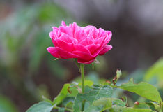Red rose in the garden. Red rose in the garden, Beautiful flower, Thailand Stock Images