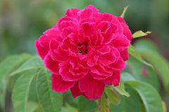 Red rose in the garden. Royalty Free Stock Photo