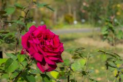 Red rose in the garden. Red rose in a botanical garden in a sunny October day stock photo