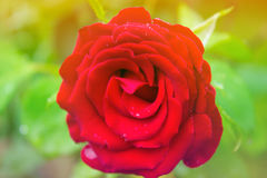 Red Rose  in the Garden. Red Rose on the Branch in the Garden Royalty Free Stock Images