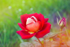 Red Rose  in the Garden. Red Rose on the Branch in the Garden Stock Photos