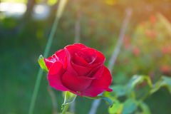 Red Rose  in the Garden. Red Rose on the Branch in the Garden. Red Rose  in the Garden Royalty Free Stock Images