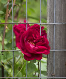 Red Rose in a Garden Stock Image