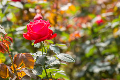 Red Rose in the Garden Stock Images