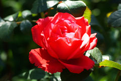 Red rose in the garden Royalty Free Stock Images