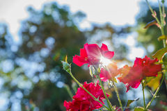Red rose in garden Stock Image