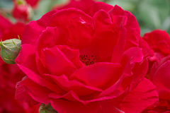 Red rose in garden. Close up of red rose in garden Stock Images