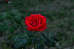 Red rose at garden at dark green background Stock Image
