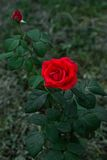 Red rose at garden at dark green background Royalty Free Stock Photography