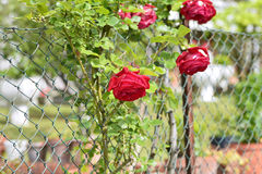 Red rose in a garden Royalty Free Stock Image