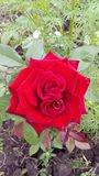 Red rose in the garden royalty free stock photography